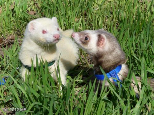 Ferrets (M. furo)