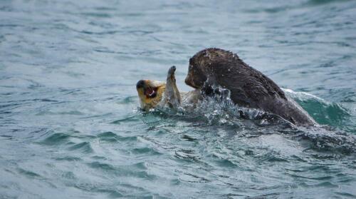 Sea Otters (E. lutris)